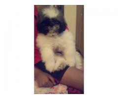 shitzu puppy for sale