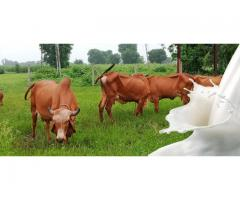 Gir cow milk in Ahmedabad