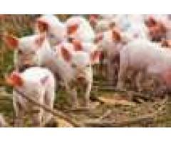 PIGUP FARMING & SERVICES