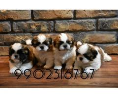 outstanding quality shuh tzu puppies for sale in bangalore