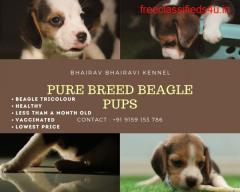 Bhairav Bhairavi Kennel - Pure Breed Beagle Puppies for Sale Chennai