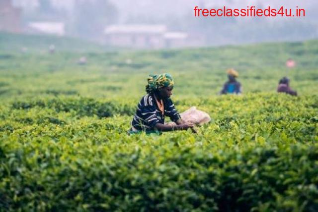 Get Well Maintained Tea Garden in Darjeeling at Lowest Prices