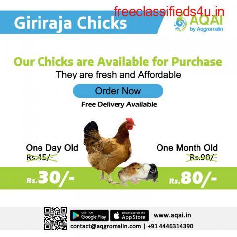 Giriraj Chicks   Giriraja Chicken Chicks - Aqai