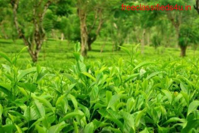 Quality Tea Garden For Sale in Darjeeling at Reasonable Prices
