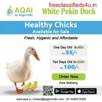 White pekin Ducks   Duck farming  Ducks - Aqai