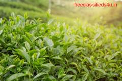 Well Maintained Tea Garden For Sale in Dooars at Best Prices